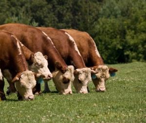 cattle-grazing-377p-orig-istock