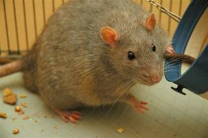 Fat-Lab-Rats-Unsuitable-for-Research-2