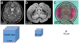 (a) Human brain imaged at 1 mm resolution as indicated by voxel size. (b) Mouse brain imaged at 60 μm. (c) Drosophila head on an RF microcoil